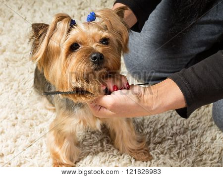 Woman's Hands Are Brushing Yorkshire Terrier's Muzzle With A Comb