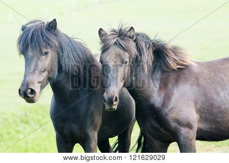 Icelandic horse, two black beautiful horse, close up