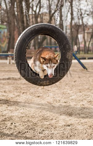 Husky Dog jumps over a hurdle at the training ground on a sunny day