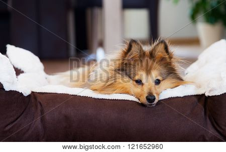 young sheltie lies in a basket and looks to camera