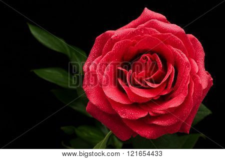 Big Red Rose On A Black Background