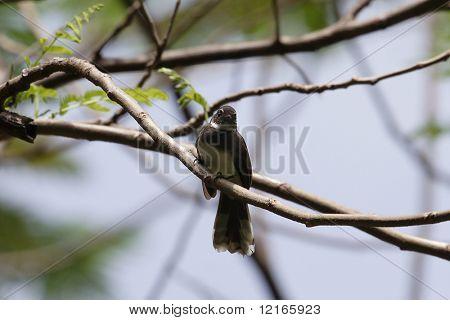 white browed fantail bird
