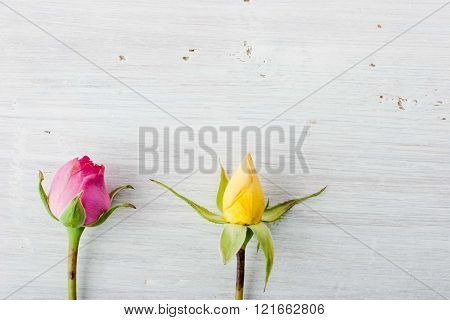 Two rosebuds on the white background horizontal