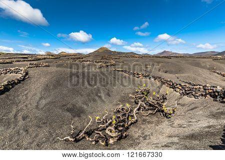 Vineyards in La Geria Lanzarote canary islands Spain.