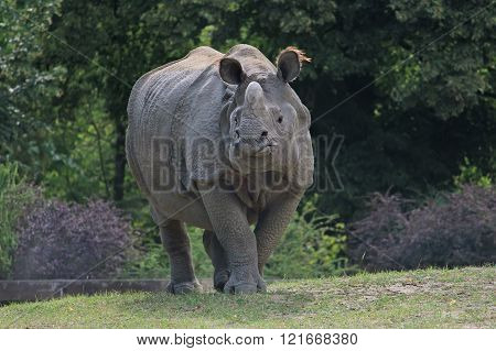 Indian rhinoceros walking