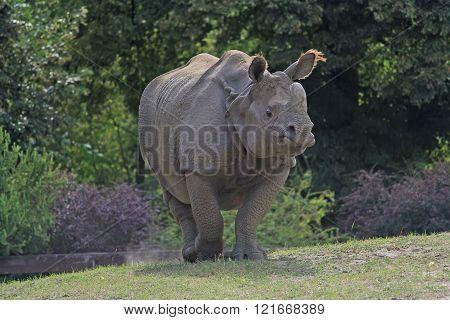 Indian (Rhinoceros unicornis) rhinoceros walking in a meadow