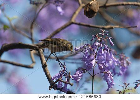 A Bird In The Branches Of Jacaranda