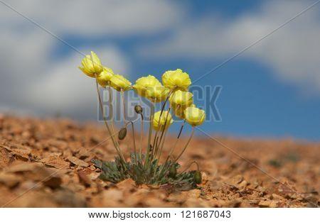 Papaver alpinum on blue sky background yellow