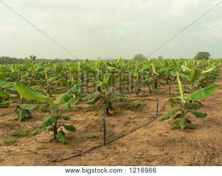 Scene Of A Banana Cultivation