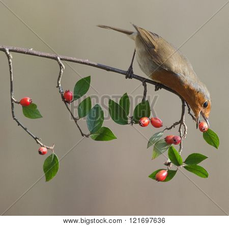 Robin Picking Red Berry