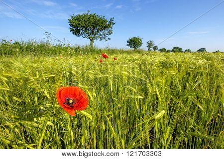 Tree And Poppy