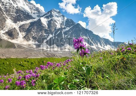 Mountain Flowers In A Meadow On A Background Of Snowy Mountains
