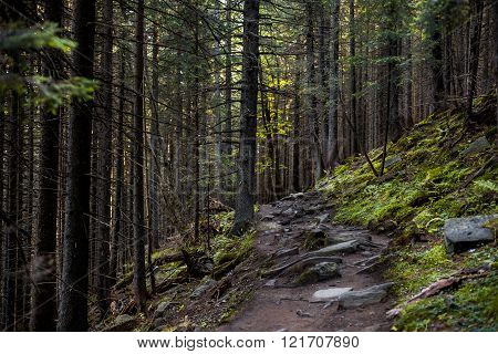 Old Beautiful Forest With Stoned Trail Between The Trees