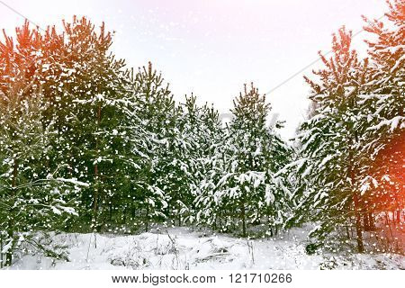 Winter Landscape. Snow Covered Trees.