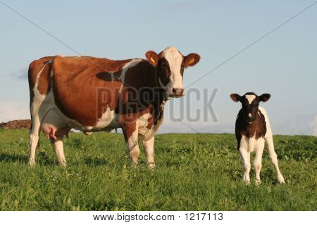 a cow and a calf in a field poster
