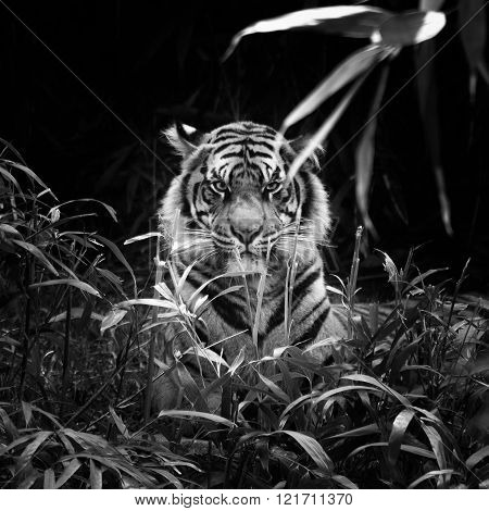 Sumatran Tiger Stare