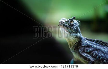 Green Crested/Plumed Basilisk Lizard