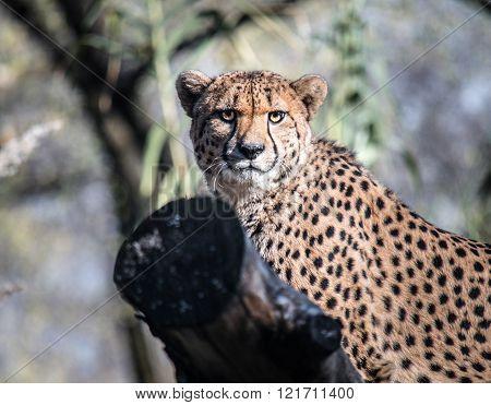 Cheetah Staring at Camera