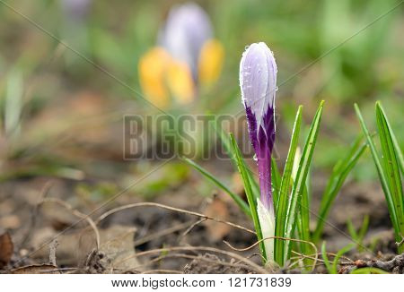 Crocus on a meadow in spring