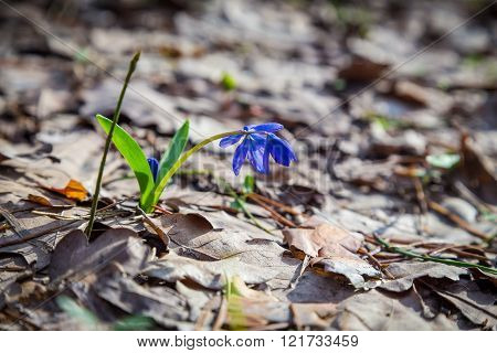 Bluebell wildflower on the forest