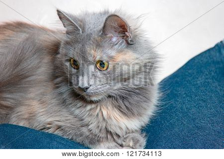 Cute gray cat is sitting on jeans fabric