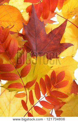 Autumn leaves, close-up