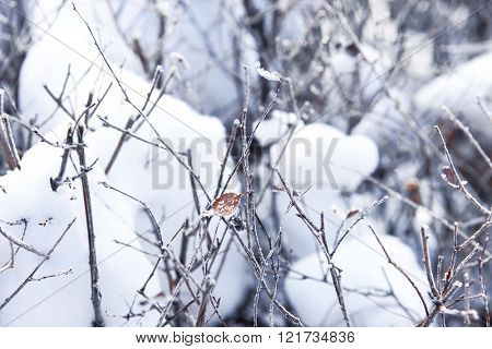 Snowy bushes with frost, closeup