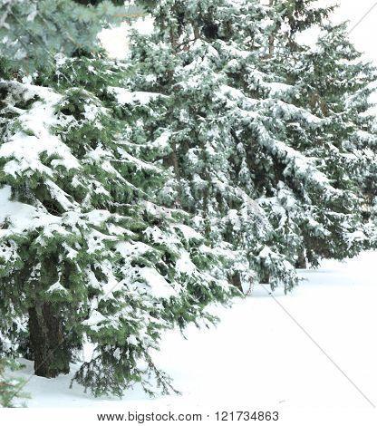 Snowy fir trees in park