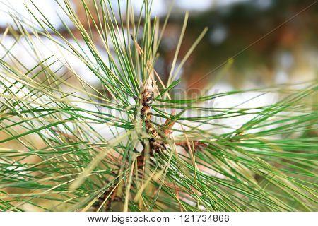 Pine tree branches, closeup