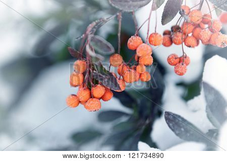 Snowy rowan with frost, closeup