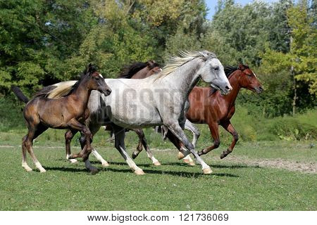 Purebred Arabian Horses Galloping On Summer Pasture