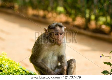 The Macaque diaries. The bonnet macaque is a macaque endemic to southern India. Its distribution is limited by the Indian Ocean macaque. These art part of the big Banyan tree troop Bangalore India.