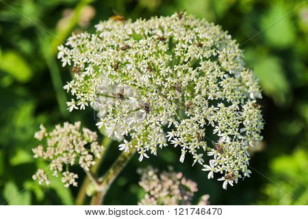 Closeup of insects on Cow Parsley flower (Anthriscus sylvestris) during summer in Europe