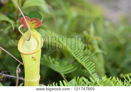 Close up on a Nepenthes a Carnivorous plant