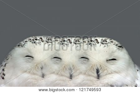 Illusion of Dreamy Snow Owl Dream