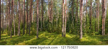 Panoramic view of boreal forest on a summer day