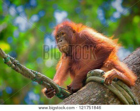 Wild Borneo Orangutan