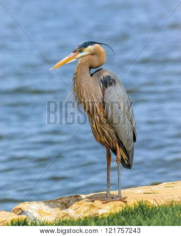 Great Blue Heron standing near Chesapeake Bay