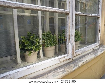 Potted Herbs In An Old White Window