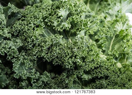 Close Up O A Healthy Fresh Curly Kale