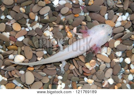 Axolotl (Ambystoma mexicanum)