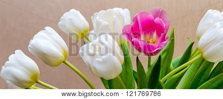 Blossoming White Tulips And One Flower Of Red Color
