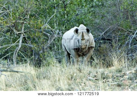 large black rhino standing and watching through dry grass and and trees