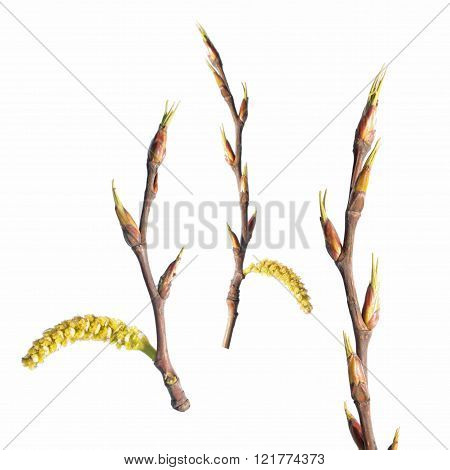 Branches of poplar with catkins isolated on white