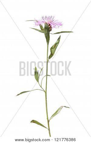 Brownray Knapweed isolated on white