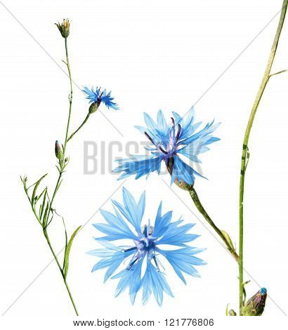 Cornflower isolated on white