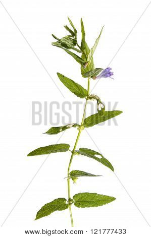 Common skullcap (Scutellaria galericulata) isolated on white
