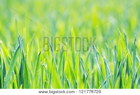 Green Corn Field In Spring, Seasonal Agricultural Theme, Vibrant Colors