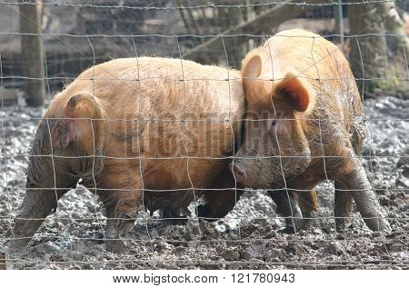 Pig Fighting