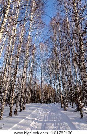 Birch Winter Forest Snow Road